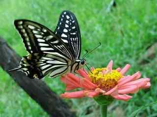 停在花上的燕尾蝶桌面壁纸
