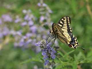美丽的燕尾蝶桌面壁纸