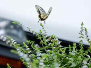 美丽飞舞的燕尾蝶桌面壁纸