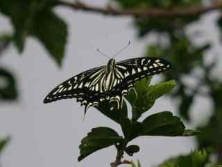 燕尾蝶摄影桌面壁纸
