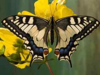 美丽的燕尾蝶摄影桌面壁纸