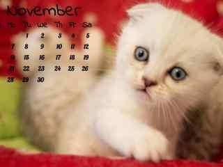 歪头卖萌的可爱英短小奶猫11月日历壁纸