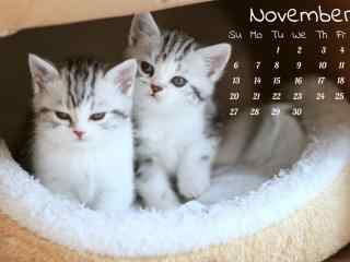 萌萌哒两只英短小奶猫11月日历壁纸