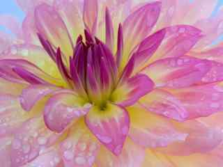 美丽鲜花上的露水桌面壁纸