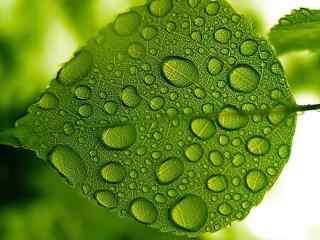 绿色叶子上的露水桌面壁纸