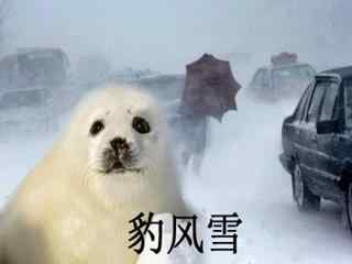 小海豹搞笑豹风雪表情包