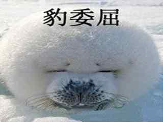 小海豹搞笑豹委屈桌面壁纸