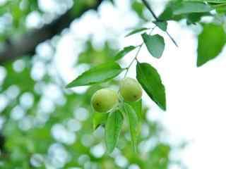 绿色小清新养生水果之冬枣桌面壁纸