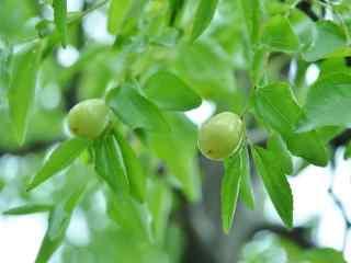 文艺美食之绿色的冬枣桌面壁纸