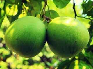 秋季养生水果之可爱的柚子文艺桌面壁纸