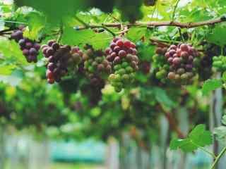 文艺美食之美丽的葡萄桌面壁纸