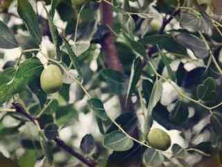 文艺美食之秋季养生水果冬枣桌面壁纸
