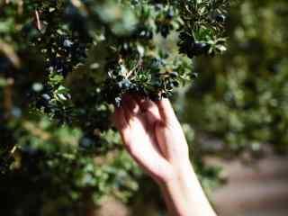 采摘蓝莓果实桌面壁纸