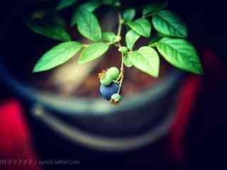 盆栽上结出蓝莓果实桌面壁纸