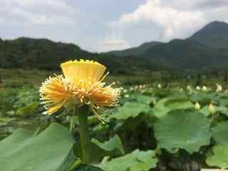 池塘上一枝独秀的莲蓬桌面壁纸