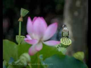 小鸟在莲蓬上休息桌面壁纸