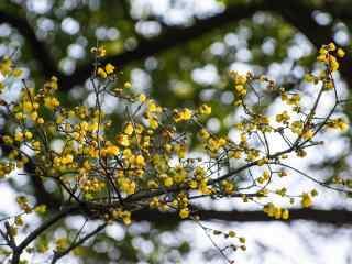 绿叶围绕的腊梅花苞桌面壁纸