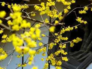 腊梅花盛开在窗外桌面壁纸