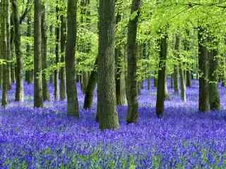 薰衣草-紫色的花