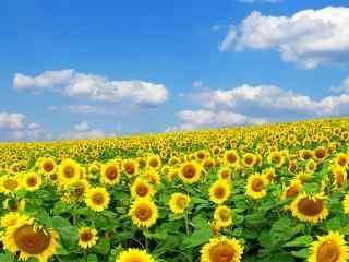 夏季向日葵唯美电