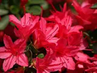 唯美热烈花朵杜鹃