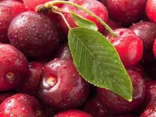 采摘色泽鲜艳的红樱桃高清桌面壁纸