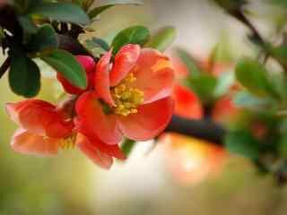 唯美贴梗海棠花卉桌面壁纸 第七辑 花开花谢 再见阳光