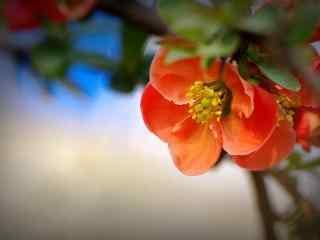 唯美贴梗海棠花卉桌面壁纸 第八辑 花开不谢 随心而绽
