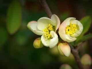 唯美贴梗海棠壁纸_唯美花卉植物壁纸_励志植物花卉壁纸大全集