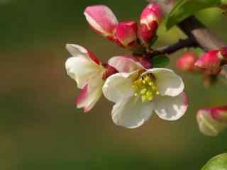唯美贴梗海棠花卉桌面壁纸 第一辑 红得妖娆 黄得娇俏