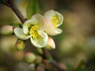 唯美贴梗海棠花卉桌面壁纸 第三辑 平凡的美 岁月静好