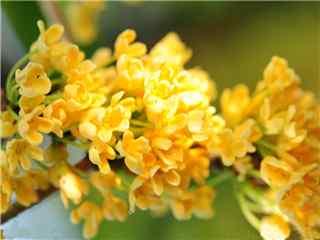 桂花金黄一片花团景簇桌面壁纸