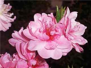 桃花品种塔型碧桃桌面壁纸