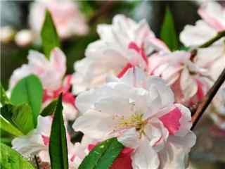 桃花品种撒金碧桃桌面壁纸