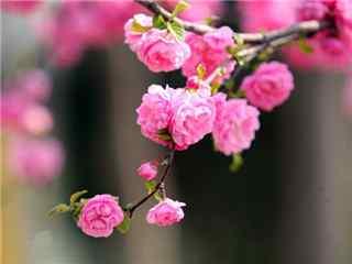 桃花品种垂枝碧桃桌面壁纸