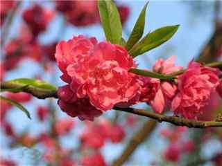 挑花品种绛桃桌面壁纸