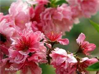 桃花品种千瓣红桃桌面壁纸