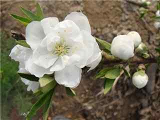 桃花品种单瓣白桃桌面壁纸