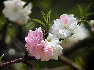 桃花品种寿星桃桌面壁纸