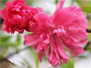 桃花品种碧桃桌面壁纸