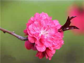 桃花品种紫叶桃花桌面壁纸
