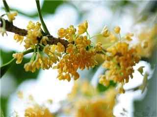 桂花品种金桂桌面壁纸
