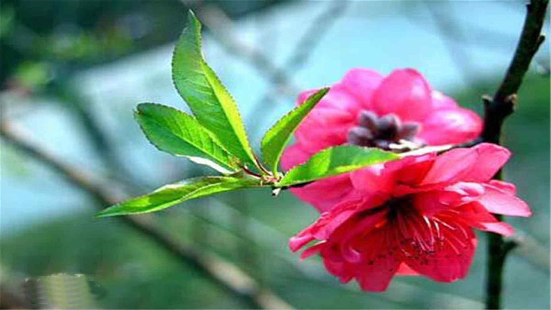 桃花品种绯桃桌面壁纸