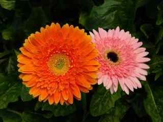 清新美丽的非洲菊