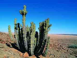 沙漠绿植仙人掌清