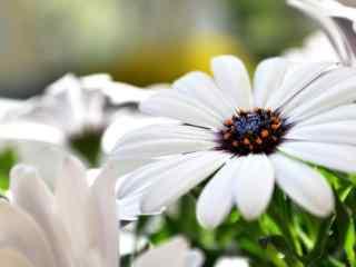 雏菊花白色雏菊花蕊特写桌面壁纸