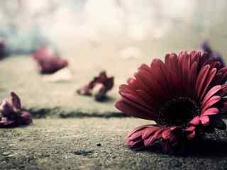 雏菊花酷炫红色雏菊花桌面壁纸