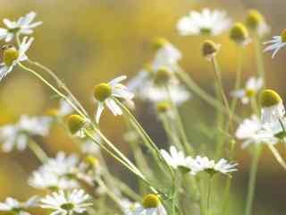 雏菊花白色唯美蜜蜂桌面壁纸