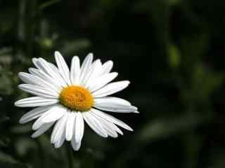 雏菊花白色雏菊花品种桌面壁纸
