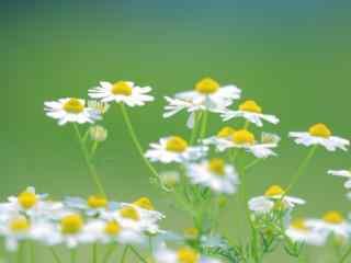 雏菊花白色雏菊花唯美绿色护眼桌面壁纸